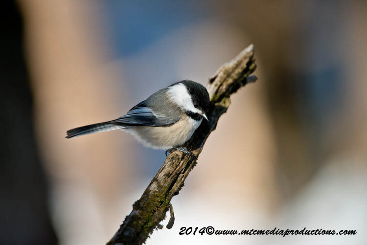 Chickadee Picture-564