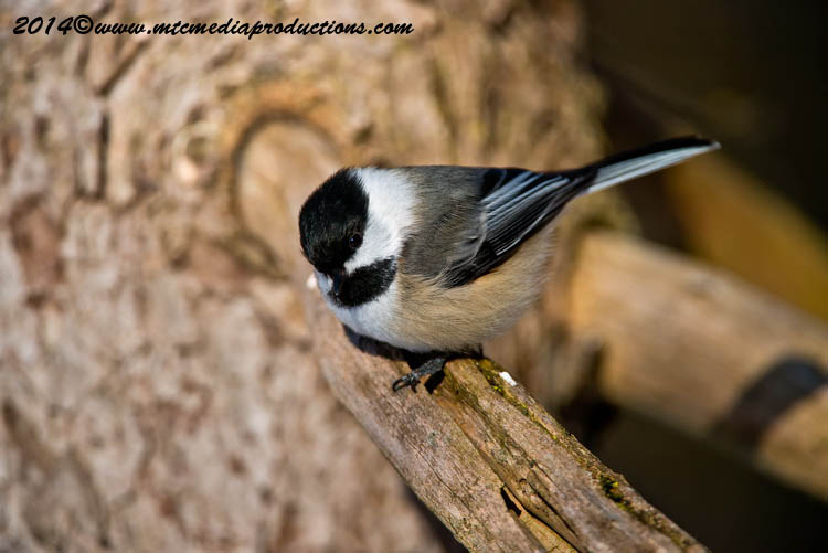 Chickadee Picture-565