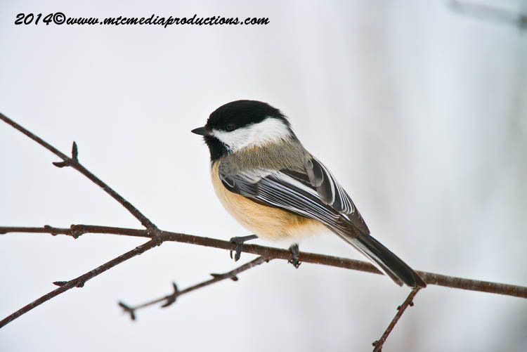 Chickadee Picture-566