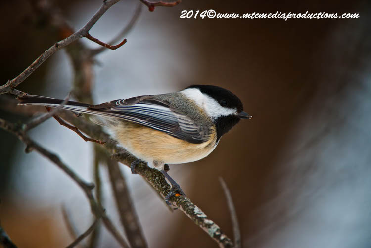 Chickadee Picture-567