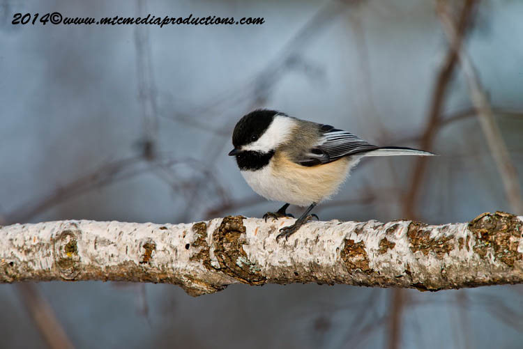 Chickadee Picture-568