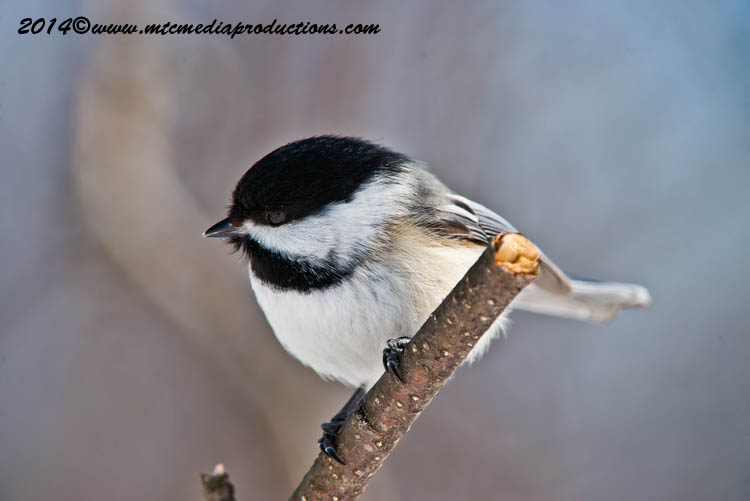 Chickadee Picture-569
