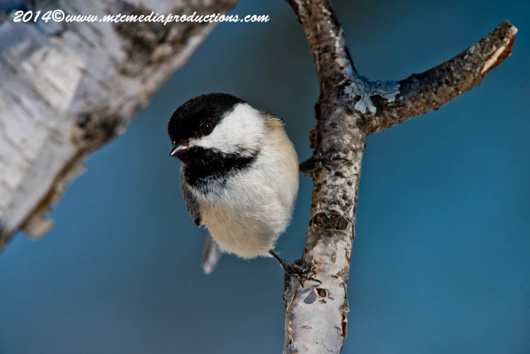 Chickadee Picture-570