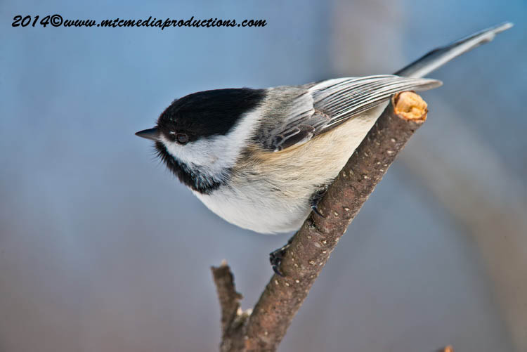 Chickadee Picture-571