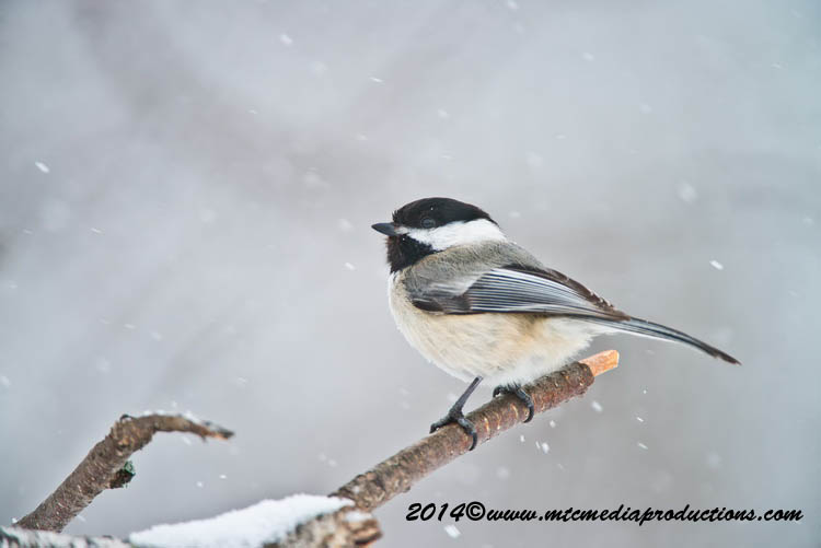 Chickadee Picture-573