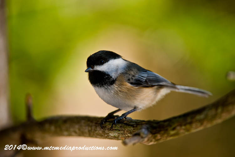 Chickadee Picture-574