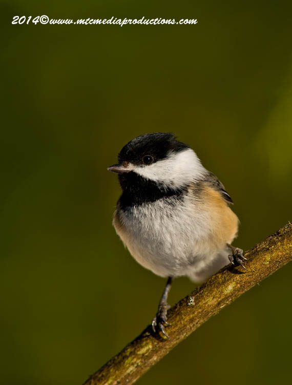 Chickadee Picture-576