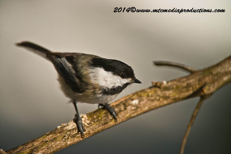 Chickadee Picture-577