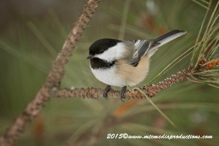 Chickadee Picture