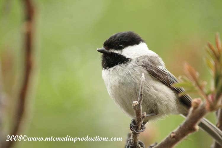 Chickadee Picture-78