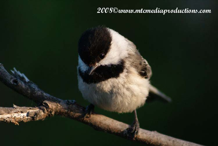 Chickadee Picture-79