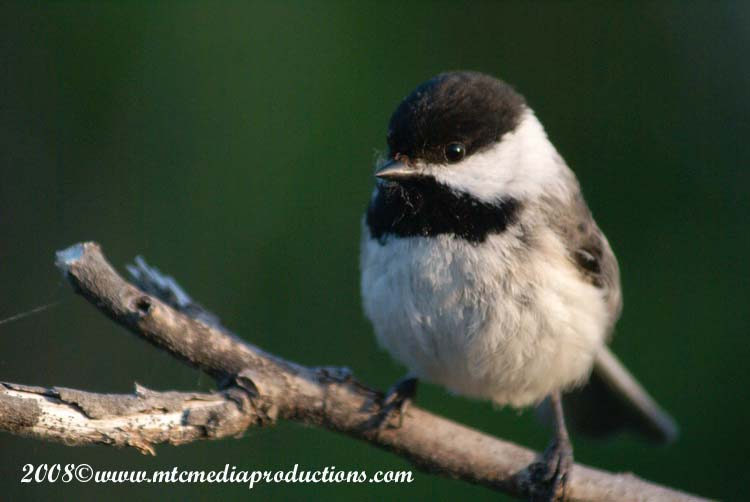Chickadee Picture-80