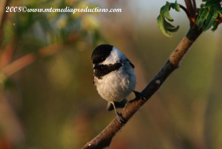 Chickadee Picture-81