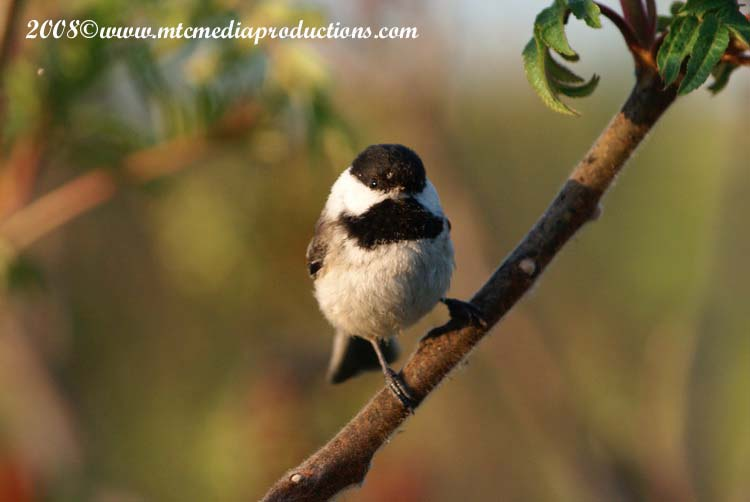 Chickadee Picture-82