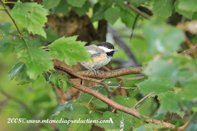Chickadee Picture-83