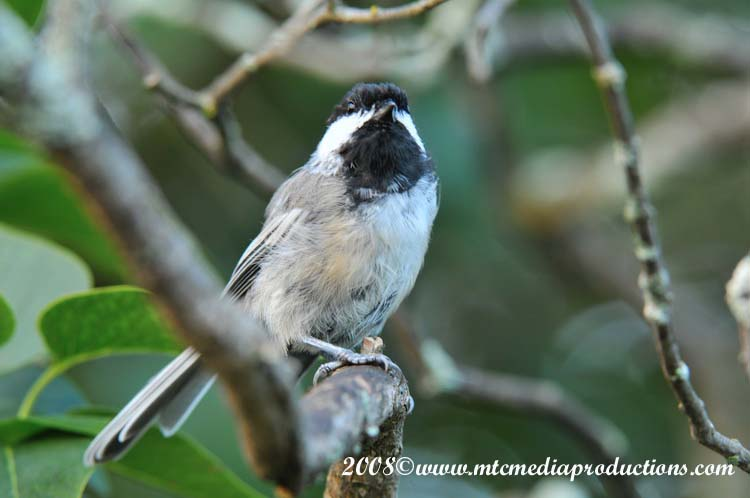 Chickadee Picture-84
