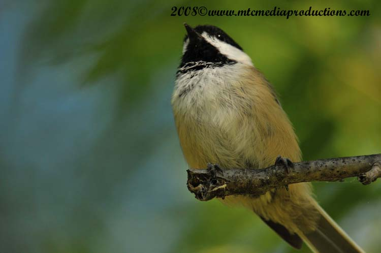 Chickadee Picture-85
