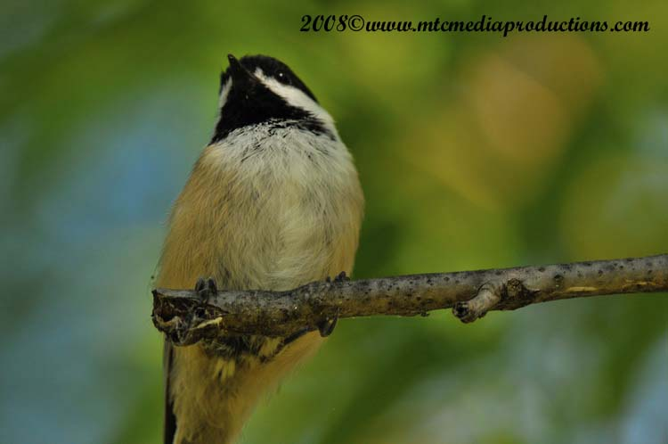 Chickadee Picture-86