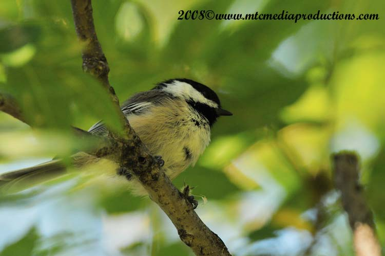 Chickadee Picture-87
