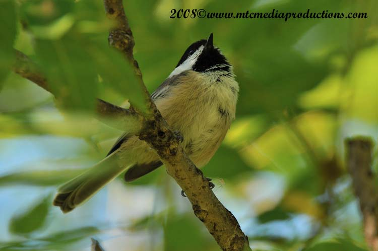 Chickadee Picture-88