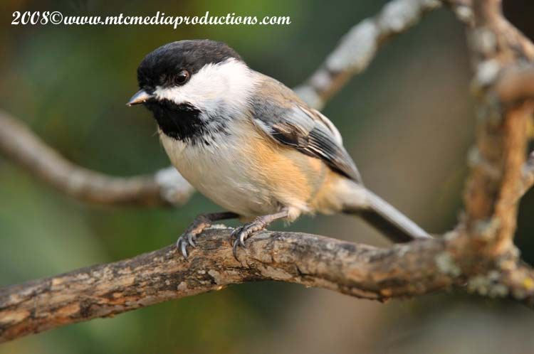 Chickadee Picture-89