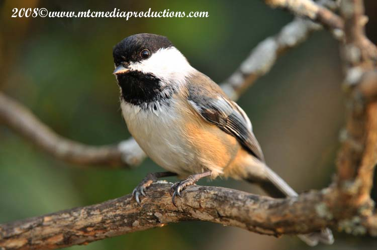 Chickadee Picture-90