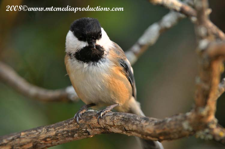Chickadee Picture-91