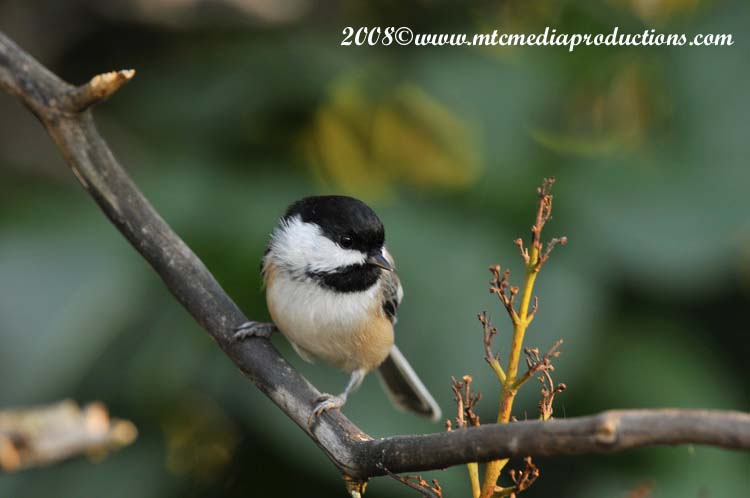 Chickadee Picture-92
