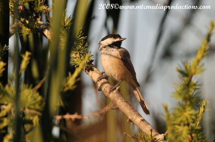 Chickadee Picture-93