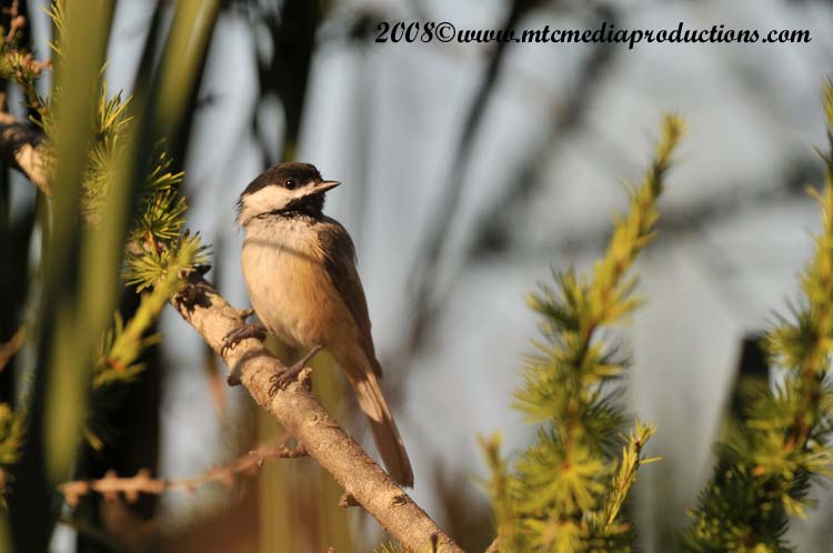 Chickadee Picture-94