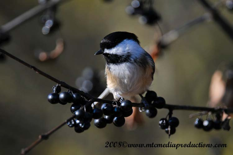 Chickadee Picture-95