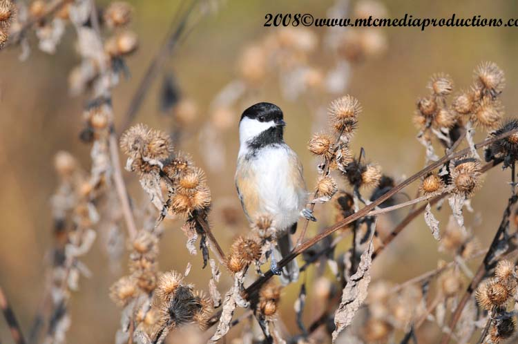 Chickadee Picture-96