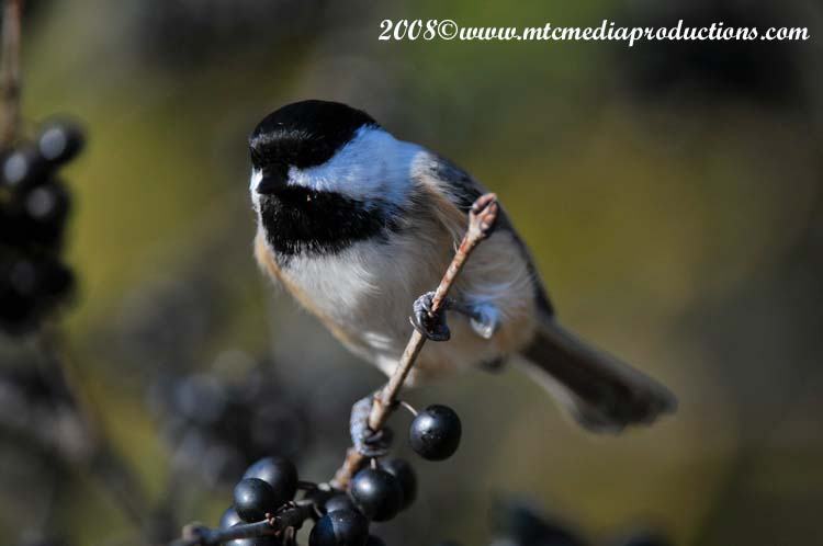 Chickadee Picture-97