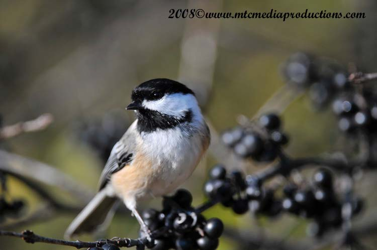 Chickadee Picture-98