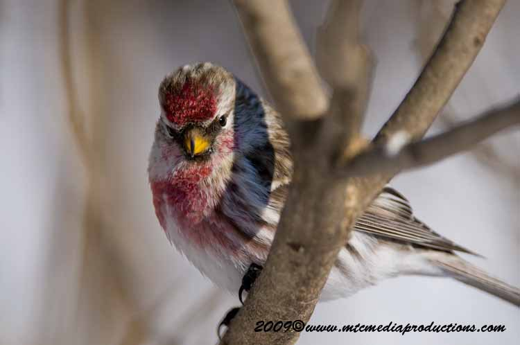 Redpoll Picture-01