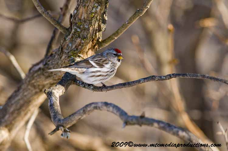 Redpoll Picture-10