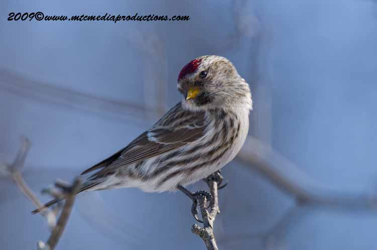 Redpoll Picture-11