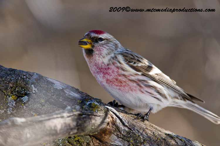 Redpoll Picture-12