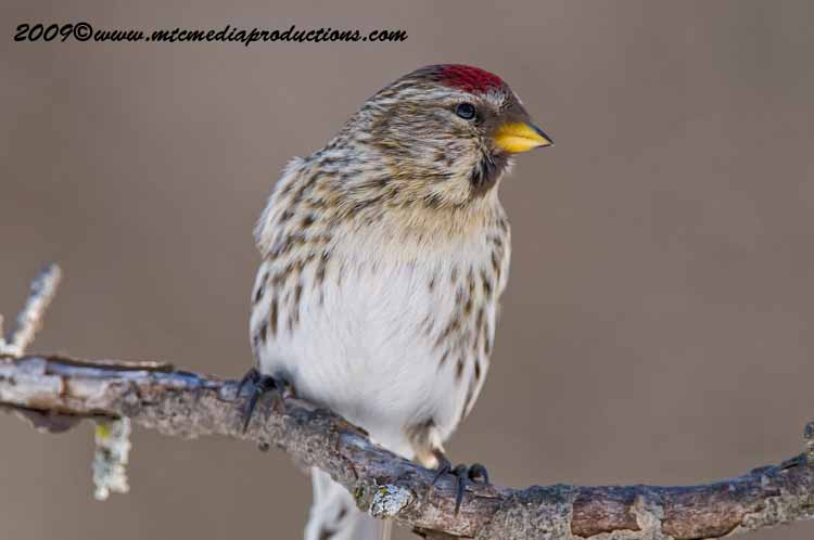 Redpoll Picture-13