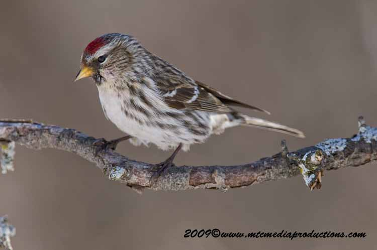 Redpoll Picture-15