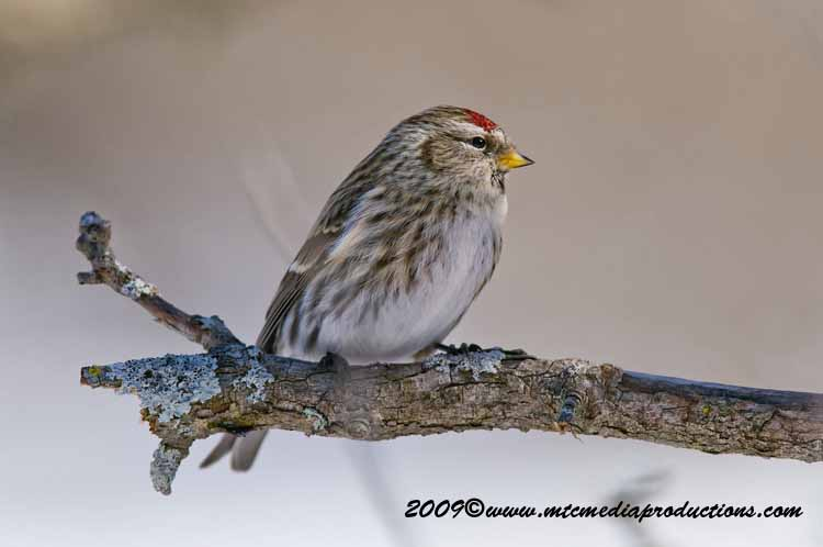 Redpoll Picture-16