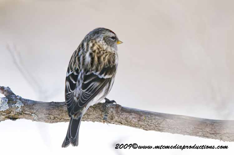 Redpoll Picture-17