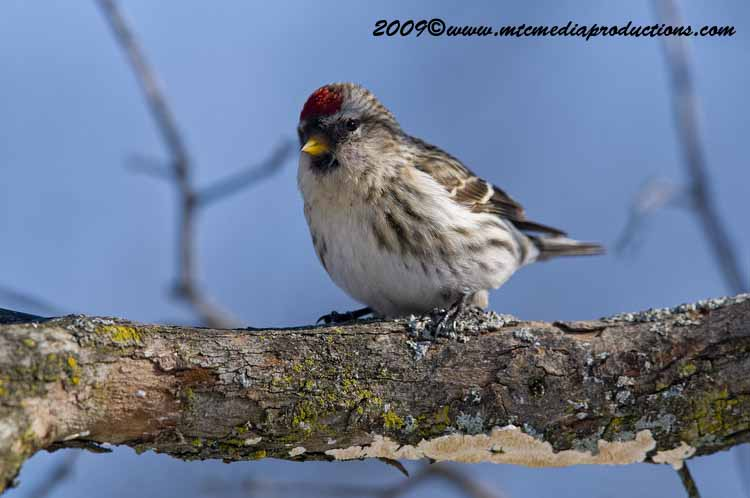 Redpoll Picture-18