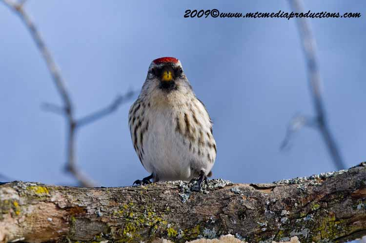 Redpoll Picture-19