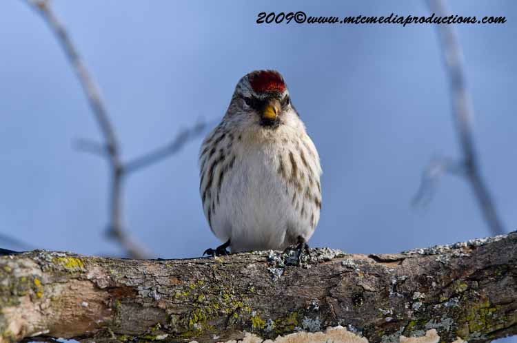Redpoll Picture-20