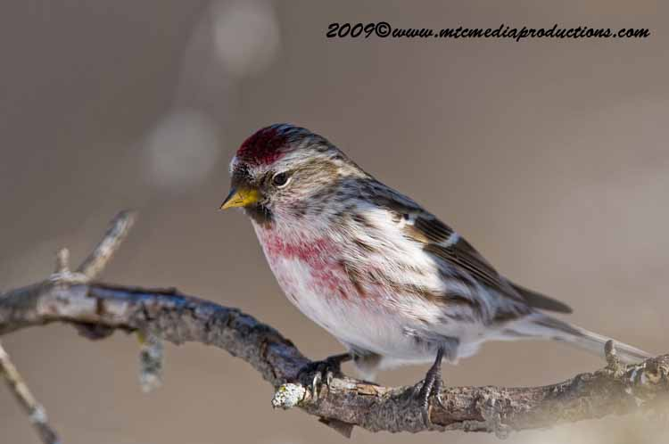 Redpoll Picture-21