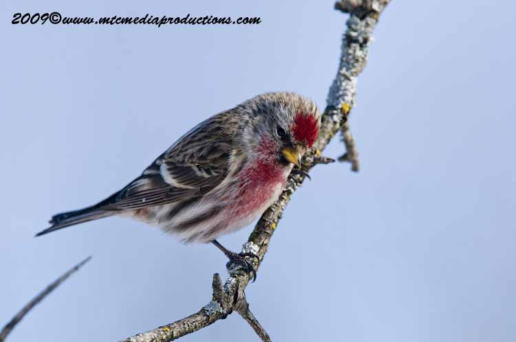 Redpoll Picture-22