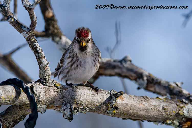 Redpoll Picture-27