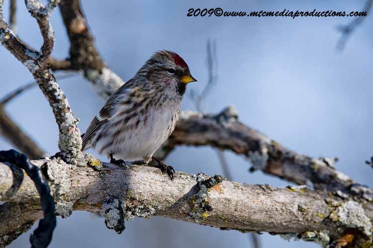 Redpoll Picture-28