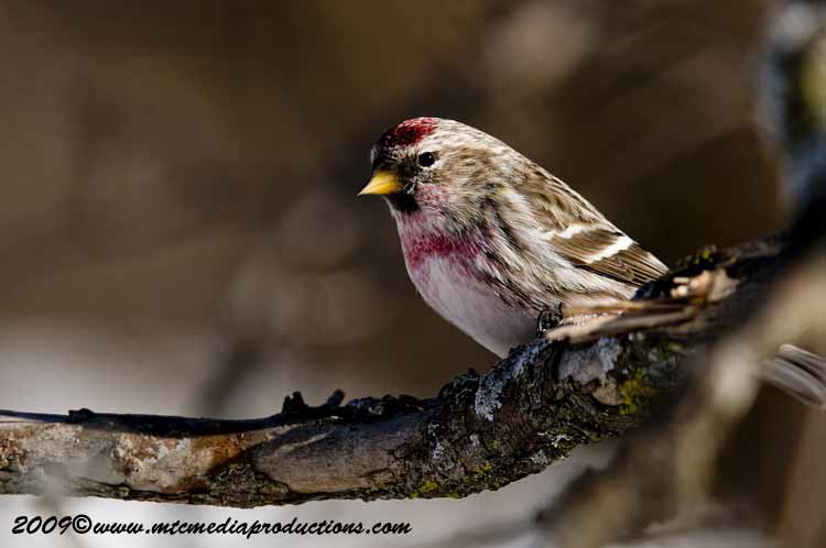Redpoll Picture-29